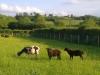 sheared-sheephpim2990