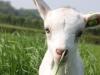 Goats-150.jpg