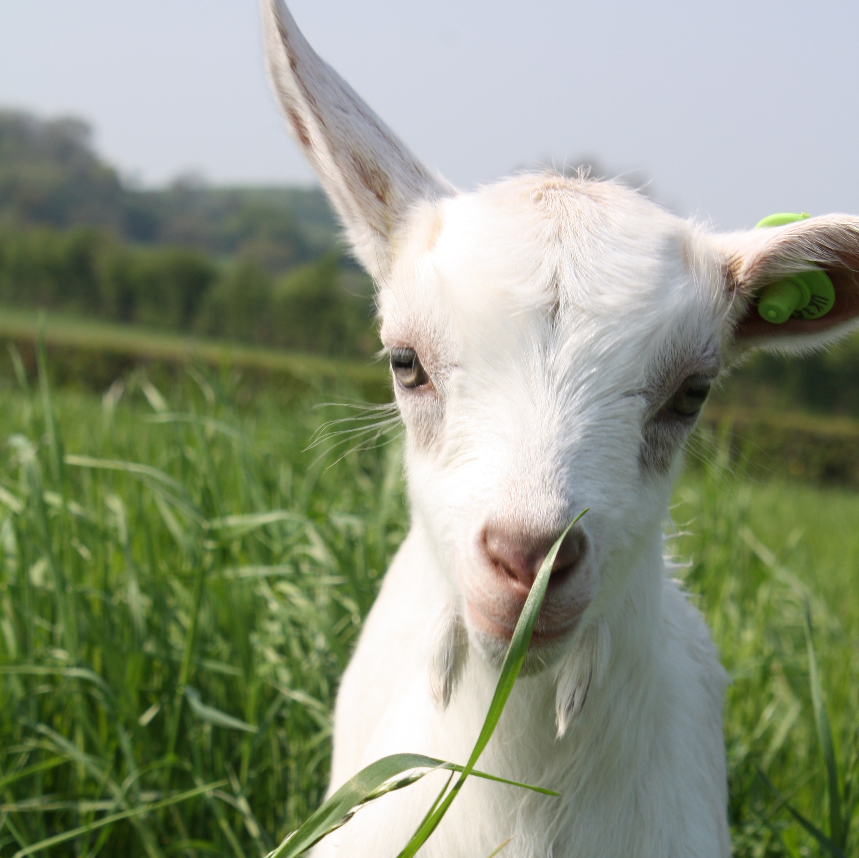Goats 150