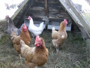 Our happy hens!
