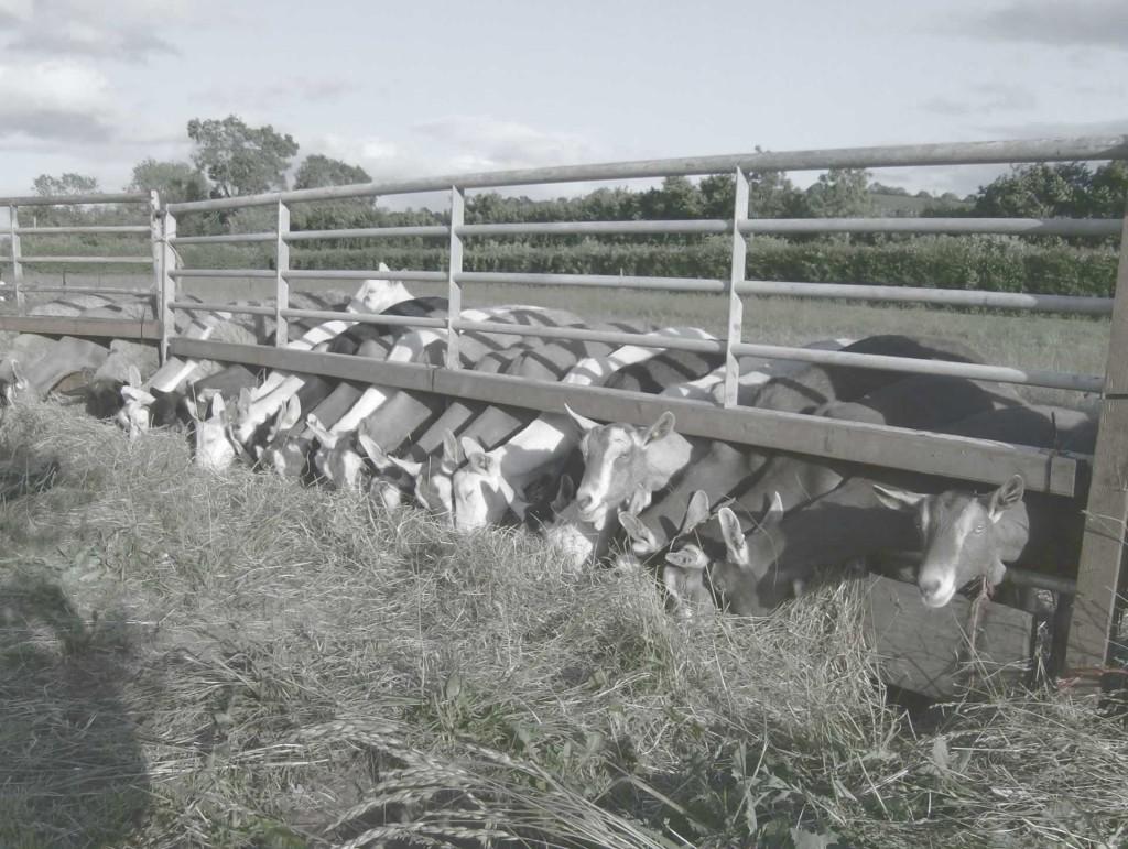 goats-feeding